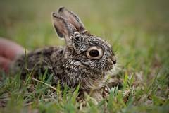 Rabbit (buguilly1) Tags: wild natural naturaleza salvaje canon photography photographer photoshoot animal airelibre exterior megapixel nature macrofotografía textura texture mexico rabbit conejo green verde libre flickr
