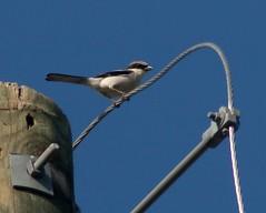 Brays Bayou reservoir - Loggerhead Shrike
