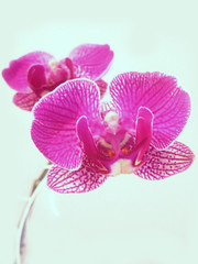 Orchidaceae (SwEeTcHy) Tags: pink summer flower fleur flor rosa orchidaceae verano orquidea