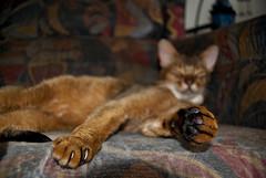 qp (_603_) Tags: cats cute cat nikon ocicat sleeeping d40x habesian