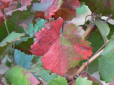 vignes d'automne.jpg