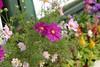 街に咲くコスモス