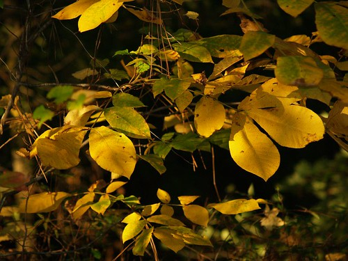 Dappled Yellow