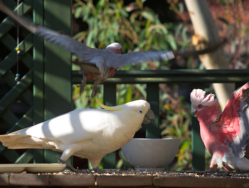 Sulphur-crested cockatoo being a bully