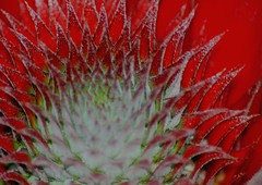 Ring of Fire (lspeng) Tags: pink red white macro leaves fruit canon malaysia spiny pointed serated aplusphoto colourartaward growingpineapple