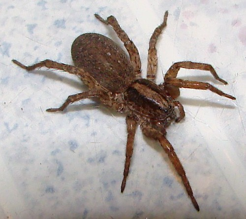 """big brown spider • <a style=""""font-size:0.8em;"""" href=""""http://www.flickr.com/photos/10528393@N00/2086248873/"""" target=""""_blank"""">View on Flickr</a>"""
