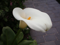 calla lily (pualanimom) Tags: flowers nature callalily