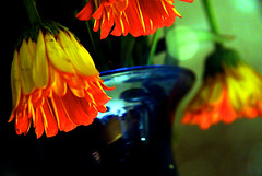 saying goodbye (JKnig) Tags: blue orange flower color reflection me self hand gerbera daisy vase nighttable wheniarrivedhereatscoutsplaceonthursdaythebedwasfilledwithuglydollsandthetablewasfestoonedwiththese soeverymorningivewokenuptoorangeandblue canyouspellthoughtful ileaveinalittlewhilefortheairport andihadtogetashotofthese itwasasiftheyweresayinggoodbye thankyoujamieforeverything