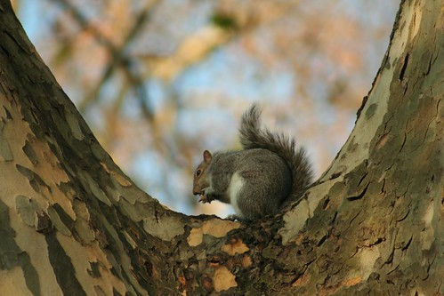 London - A squirrel in Hyde Park