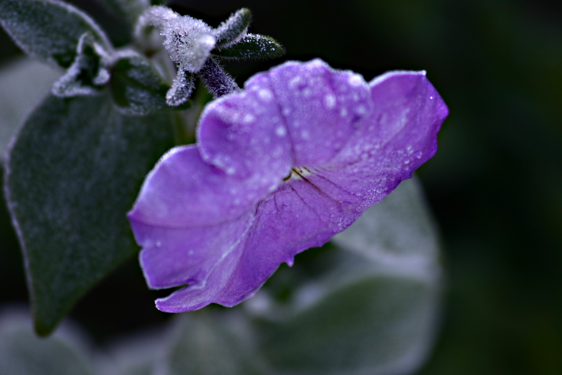 bruma-violet