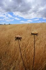 Aussie Dry (Chris Faithfull) Tags: chris field grass canon eos weeds weed dry australia paddock faithfull 400d photofaceoffwinner fatefull pfogold friendlycomments goldenpalmaward