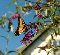 butterfly against the sky (alankin) Tags: philadelphia butterfly nikon dof bokeh pennsylvania d70s butterflies bestviewedlarge insects lookingup unitblock 1870mmf3545g urbannature philly nikkor mountairy 50views mtairy xmap nipponstreet 5august2006 1700064bmu niknala