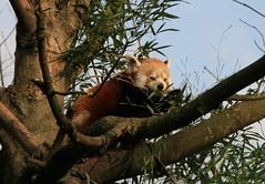 Baum-Panda im Münchner Tierpark