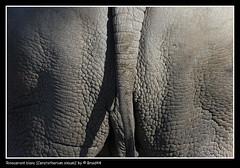 Rinoceront blanc (Ceratotherium simum) ( Pere Soler) Tags: nature cola tail explore rhino 424 rinoceronte naturesfinest canon70200lf4 ©allrightsreserved flickrsbest abigfave tepasaste anawesomeshot impressedbeauty diamondclassphotographer canon40d braid44 brillianteyejewel overtheexcellence goldstaraward multimegashot lanawesomeshot peresoler
