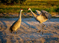 Lets Dance (Alex Gilliard) Tags: field birds sunrise golden dancing florida pasture 70200 animalplanet sandhillcranes centralflorida largebird wauchula alexgilliard