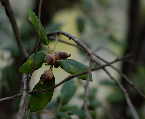 holm oak acorns