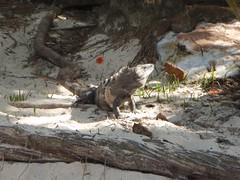 Iguana at the beach (FlckrBrnd) Tags: sun beach tulum palmtree mexiko yuccatan