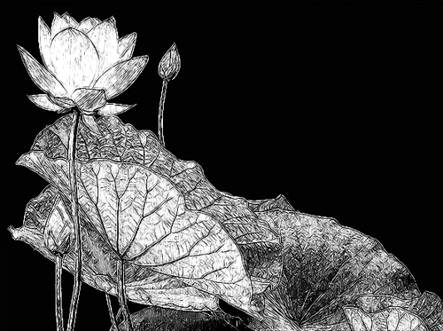 Lotus Flower - DSCN7167- sketch