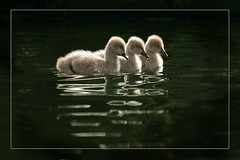 Ugly ducklings (hvhe1) Tags: bird nature animal swan bravo wildlife waterfowl blackswan naturesfinest interestingness6 firstquality specanimal supershots hvhe1 hennievanheerden bratanesque