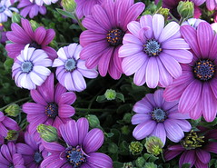 Purple African Daisies. (JannK) Tags: flowers loveit elite southerncalifornia ems brava excellence osteospermum inlandempire naturesfinest goldenglobe africandaisies supershot mywinners worldbest ultimateshot superbmasterpiece diamondclassphotographer ilovemypic theunforgettablepictures flowerwatcher platinumheartaward goldstaraward excellentsflowers natureselegantshots mimamorflowers showmeyourqualitypixels 100commentgroup