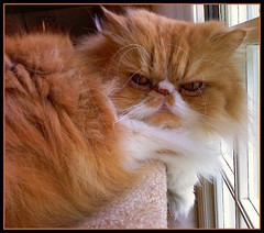 Toby (iwork4toby) Tags: red toby cat persian persiancat redpersian redpersiancat luv2explore