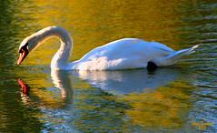 golden swan (artfilmusic) Tags: reflection bird water swan artcafe worldglobalaward