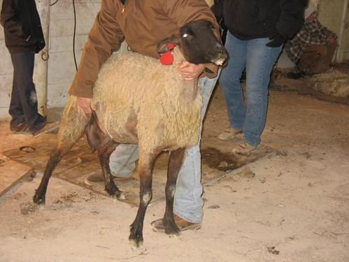 resisting sheep