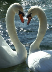 All you need is love ! (kjlast) Tags: park uk lake love water kent swan fuji heart swans finepix gb valentines fujifilm waterfowl soe countrypark naturesfinest leybourne snodland endland waterstars theyaremine s6500fd s6000fd superbmasterpiece diamondclassphotographer flickrdiamond incrediblenature platinumheartaward goldstaraward pleasedontusethisimageonwebsites blogsorothermediawithoutmyexplicitpermissionthesephotosarentfree pleaserespectthatallrightsreserved