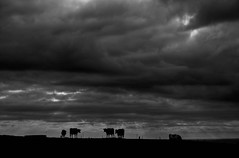 Cattle with storm clouds near Timboon, Victoria (fish-bone) Tags: australia victoria greatoceanroad 12apostles