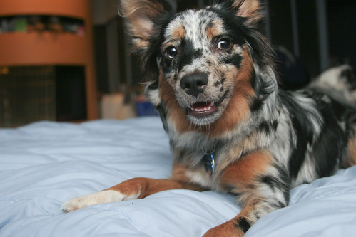 Cheery Pup