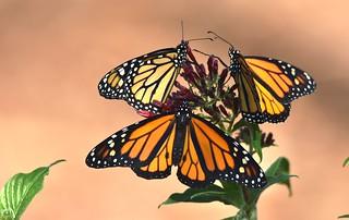 Monarch Bouquet another angle DSC_7647