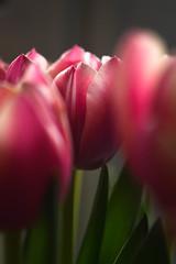 Tulips (mellting) Tags: eskilstuna lägenheten nikond500 platser bloggad extensiontube flickr instagram matsellting mellting nikkor5018 nikon sverige sweden tulip tulipa tulpan flower plant