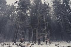 On A White Day (Stefan (ON/OFF)) Tags: forest waald timberland woodland woods timber forestscape trees tree treemendous conifer snow misty foggy fog mist neblig nebel nebelwald düster lurky murky winter bavarianforest bayrischerwald böhmerwald mauth freyung bayern bavaria