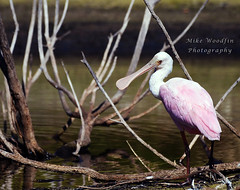 Rosette Spoonbill (Mike Woodfin) Tags: mikewoodfin mikewoodfinphotography photo picture photography photograph photos photoshop pretty park fuji florida fl fishing canon contrast color country cool nikon nature rosettespoonbill rosette spoonbill bird birds pink feathers soft fowl beak aviary