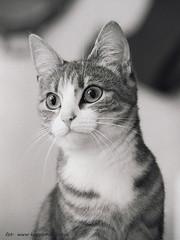 Image u (koppomcolors) Tags: koppomcolors katt cat ilford ilford400 hp5plus