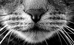 Black & White Cat (SteveJM2009) Tags: macromondays bw cat nose mouth whiskers hair smile dof macro kitty pussy pussycat bengalbritishshorthaircross bengal cute sweet fluffy boy louisedarrell ogbournestgeorge wilts wiltshire uk february 2017 stevemaskell cc400