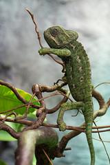 Chameleon (PeteMartin) Tags: chameleon artis zoo amsterdam netherlands nld