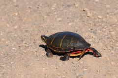 Painted Turtle (Throwingbull) Tags: park turtle painted amphibian terrapin