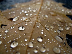 Oak Leaf Raindrops by peasap at Flickr