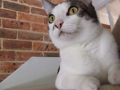 Stair Master (End of Level Boss) Tags: pet cats cute brick stairs cat kat feline chat pussy sydney australia domestic gato nsw katze mace cath  macska  gatti kot gat koka kedi kass  2007 katt  kissa kttur maka kucing pusa mo     foofoo kat  kais kogarah   jannali pisic