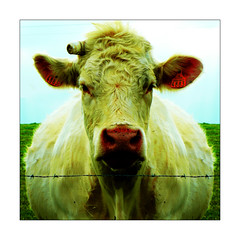 Oh la vache (Jerome Mercier) Tags: leica portrait france color sexy nature animal cow photo foto photographie photos steak fotos animaux campagne ferme couleur vache photographe leca fr69 leicadigilux3 digilux3 jeromemercier jeromemercierphoto jmbook bookjm