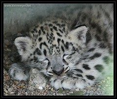 Schneeleopard schlafend  ...  sleeping snow leopard (omk1) Tags: sleeping laura cute animal cat cub tiere photo foto little sleepy leopard bigcat tired katze schlafend unica schlft niedlich wilhelma catofprey tierfotos raubkatze schneeleopard groskatze irbis animalphotos pantherauncia pantherinae tierkind  xu unicaunica vosplusbellesphotos mo