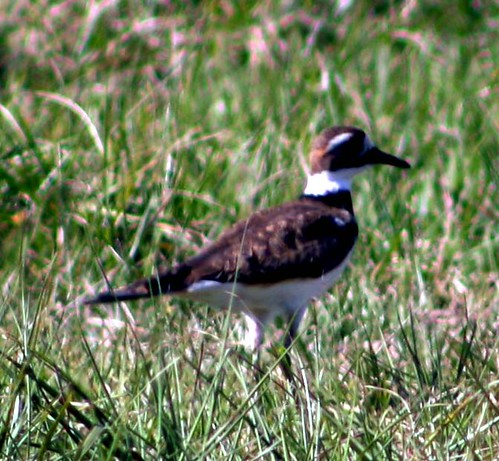 killdeer crop