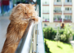 Garfi-:)) (E.L.A) Tags: family orange pet pets cute nature animal horizontal closeup architecture standing cat turkey fur outdoors photography persian orangecat kitten feline day balcony kittens nopeople istanbul explore kitties mostinteresting domesticanimals garfield ankara domesticcat kedi lookingaway persiancat garfi oneanimal pisi colorimage animalthemes oreengeness ultimateshot builtstructure bestcatphotos august2011 differentcatbreeds