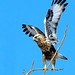 Stick with Rough Legged Hawk by Jim Sullivan