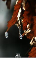 2 (ahmad khatiri) Tags: snow flower tree ice iran leff   gorgan jungel        alangdareh