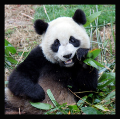 CHENGDU CHINA PANDA BASE..MY BABY PANDA ADOPTION 2/08 (electra-cute) Tags: china animals panda research breeding chengdu species endangered adoption pandarazziblog