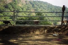 monkeying around (Jennifer Kumar) Tags: bombay monkeys mumbai india1998 negativescanelephantaisland