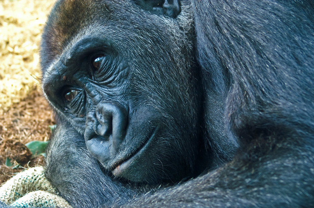 Gorilla. Close Up.