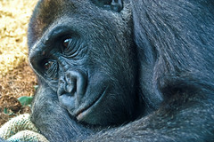 Gorilla.  <b>Amoxicillin Side Affects japan</b>, Close Up.